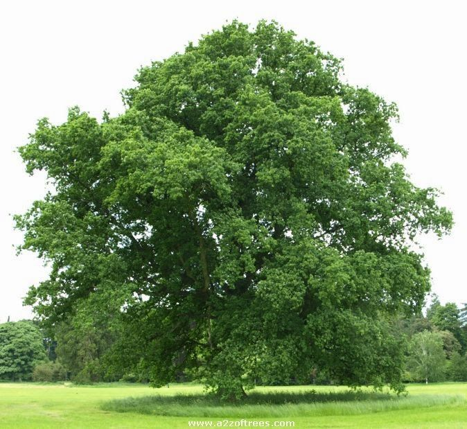 Oak Trees Types