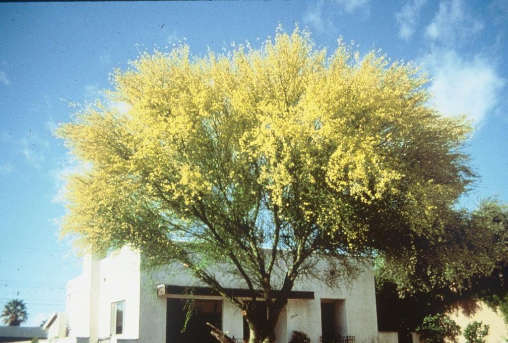 Parkinsonia Aculeata Mexican Palo Verde Jerusalem Thorn