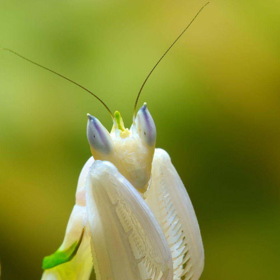 Malaysian Orchid Praying Mantis Praying Mantis Orchid Mantis