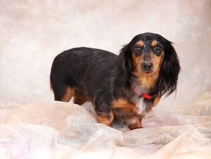 Adopt Laverne On Adoptable Dachshund Dog Dachshund Dachshund
