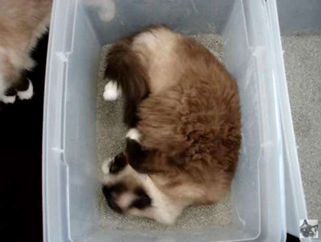 Ragdoll Cat Behaviors Why Do Cats Roll Around In A Litter Box In 2020 Cat Roll Litter Box Cat Litter Box Furniture
