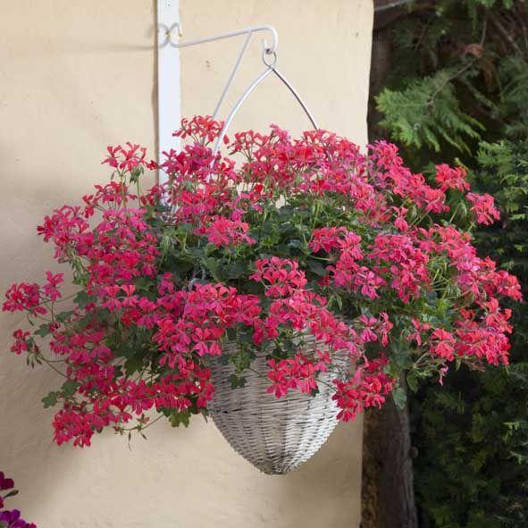 Tyroler Pelargonia  Nøjsom sommerblomst med hængende vækst oget væld af røde, rosa eller hvide blomster fra sidst i maj til oktober. Placeres i sol-halvskygge og vandes og gødes jævnligt. Tåler let udtørring, der fremmer knopdannelse. Velegnet i krukker, altankasser, ampler og som bunddække i haven.