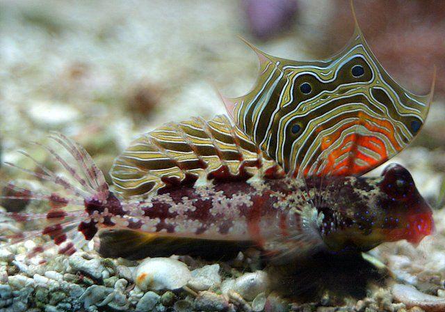 Ocellated Dragonet Fish Tank Design Salt Water Fishing Salt Water Fish