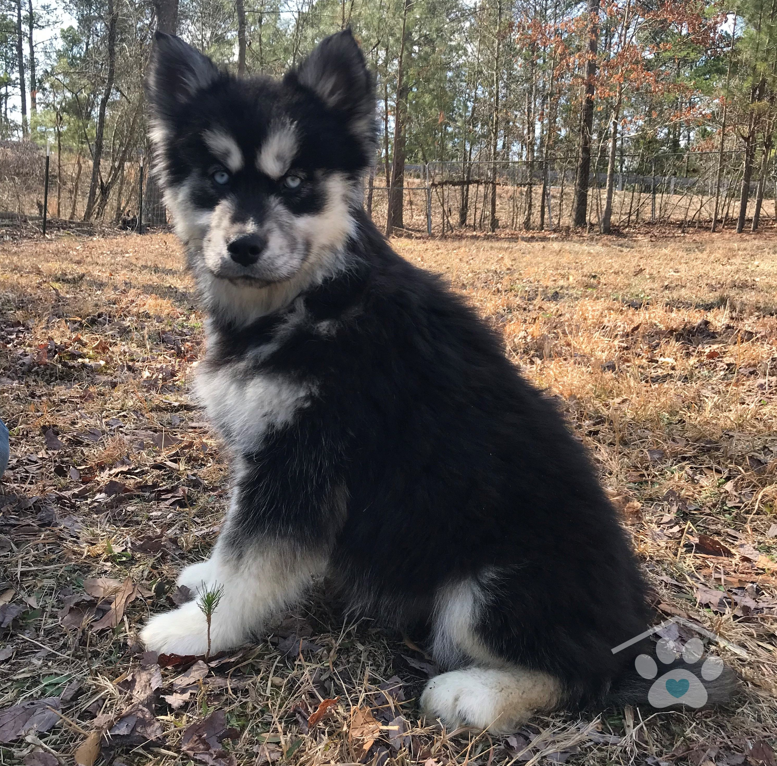 Meet Mischa She Is A Black And White Siberian Husky Female With