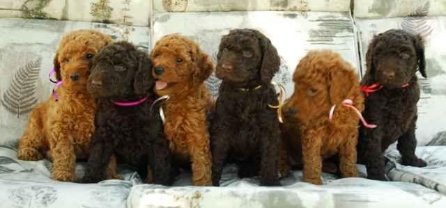 Standard Poodle Puppies Poodle Puppy Poodle Puppies For Sale