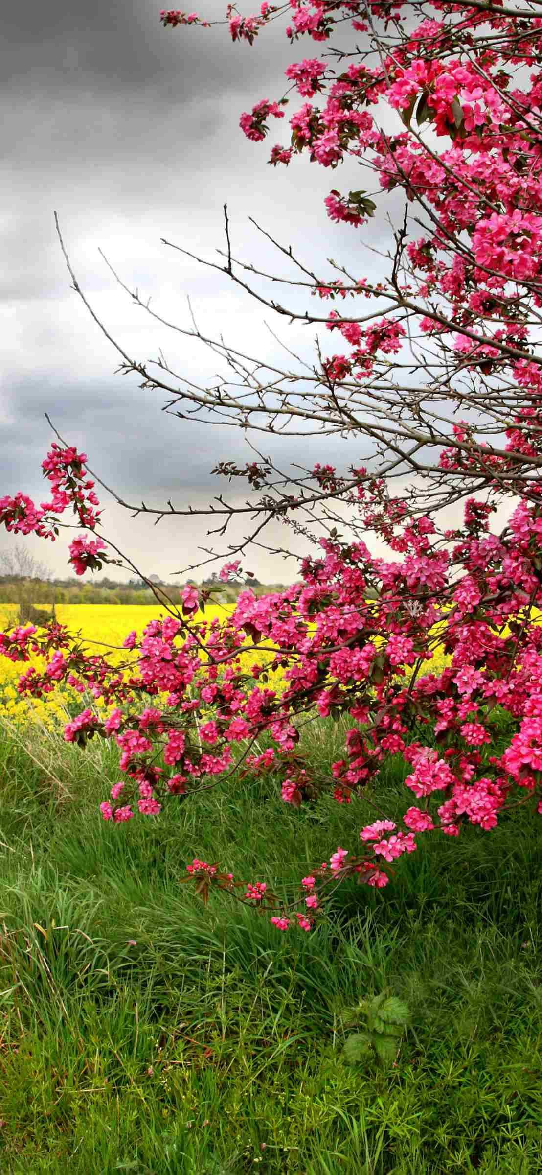 Iphone Wallpaper Color spring tree with pink flowers with