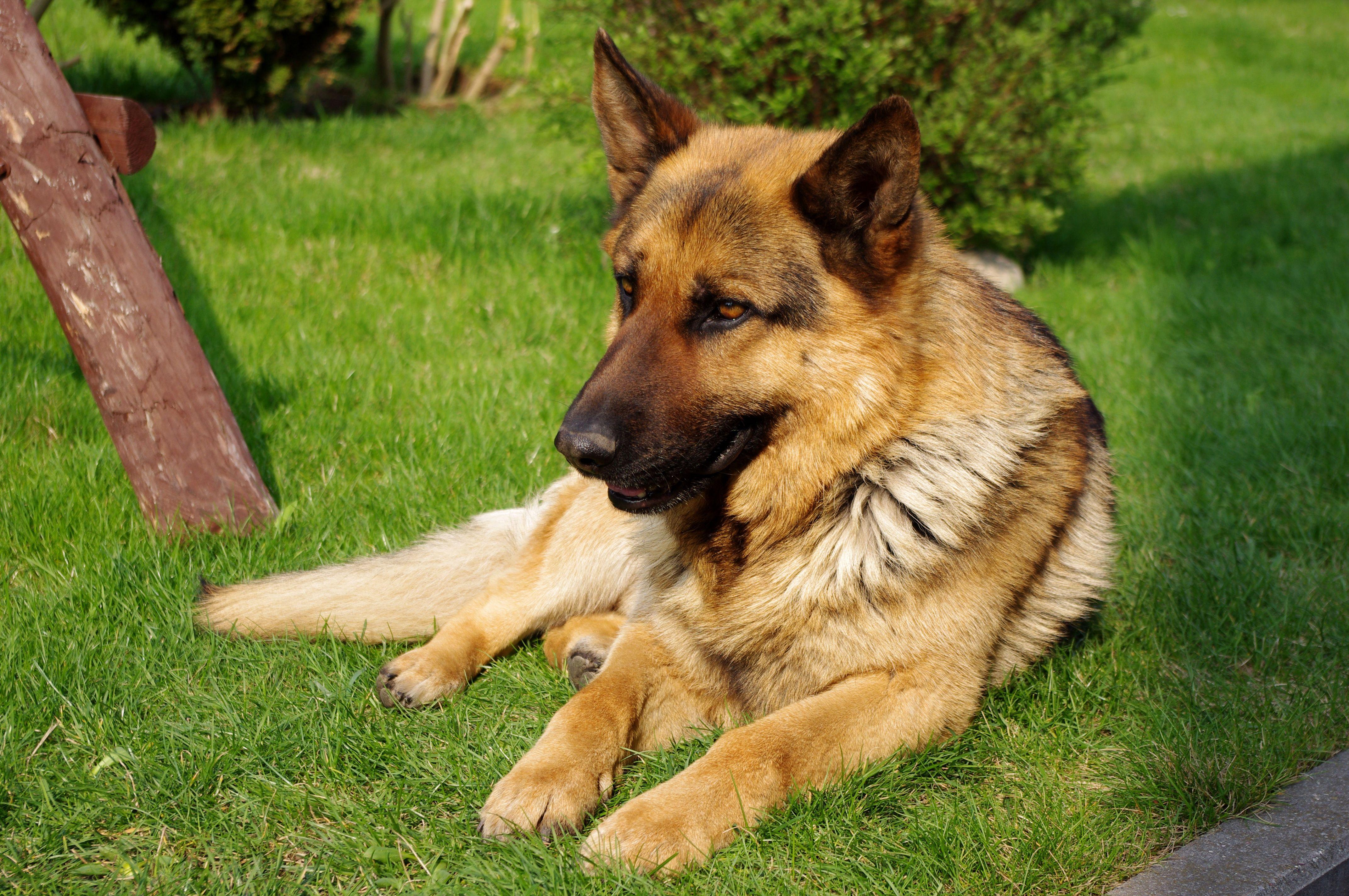 Pin von chumani_on_tree auf Shepherds & Wolfdogs