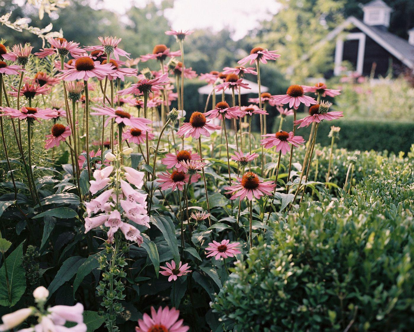 Garden Flowers growing alongside boxwoods in the