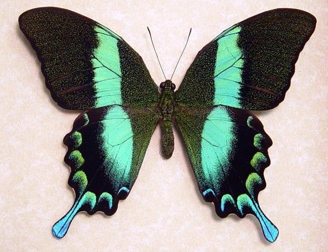 Papilio Blumei - Peacock-Green Butterfly -Native Origin: Papua New Guinea