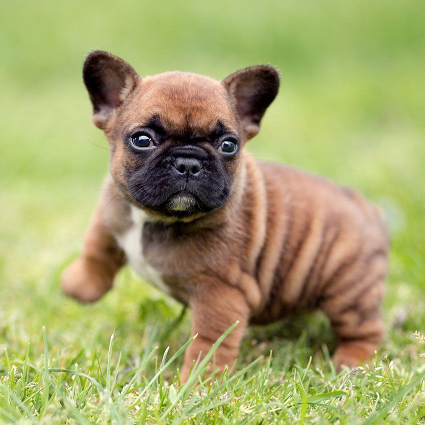 Our breeding • French Bulldog puppy for sale, French