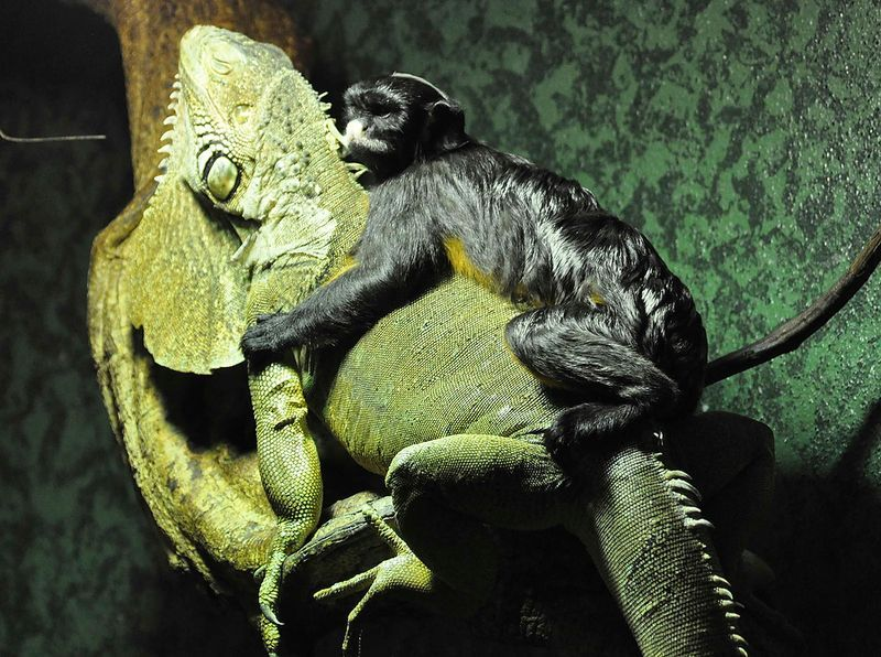 A red-bellied tamarin monkey plays with a green iguana at the Ouwehands zoo in Rhenen February 13, 2012. The small monkey enjoys the company of the iguana and frequently enjoys a ride on its back.