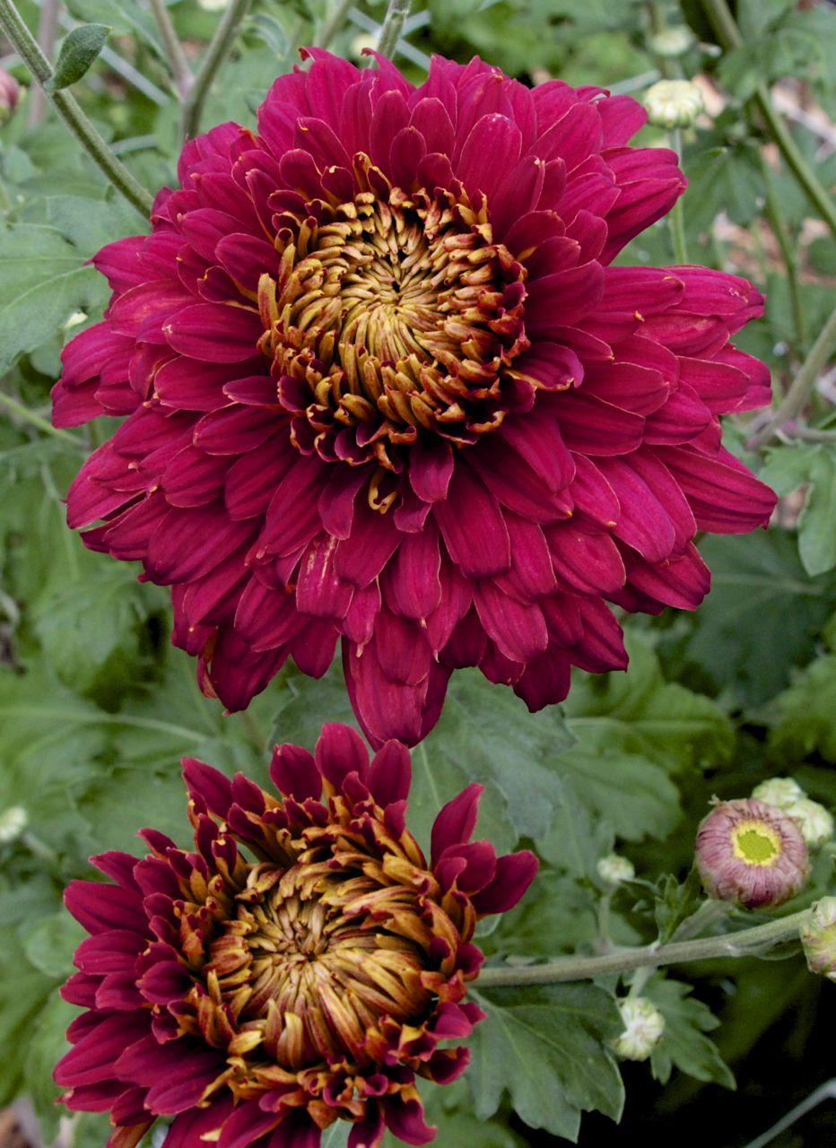 Chrysanthemum samson flower farm flower garden