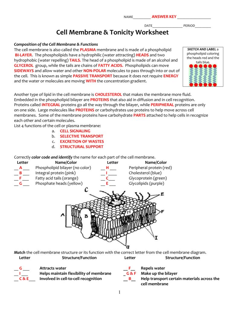 Cell Membrane And Tonicity Worksheet Cell Membrane Coloring Worksheet Cells Worksheet Cell Membrane Structure