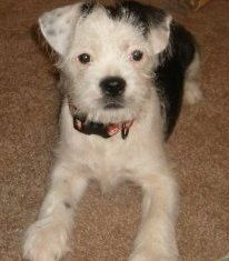 Boston Terrier Mix Terrier Mix Lap Dogs Boston Terrier