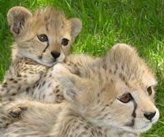 Cheetaaaaah