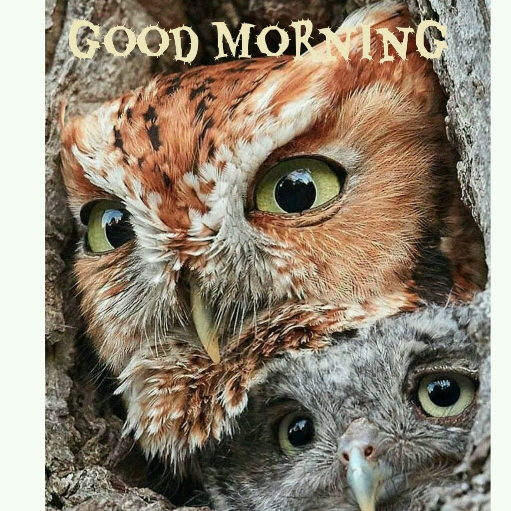 Pin By Sharon Sosa On Good Morning Animals Owl Good Morning