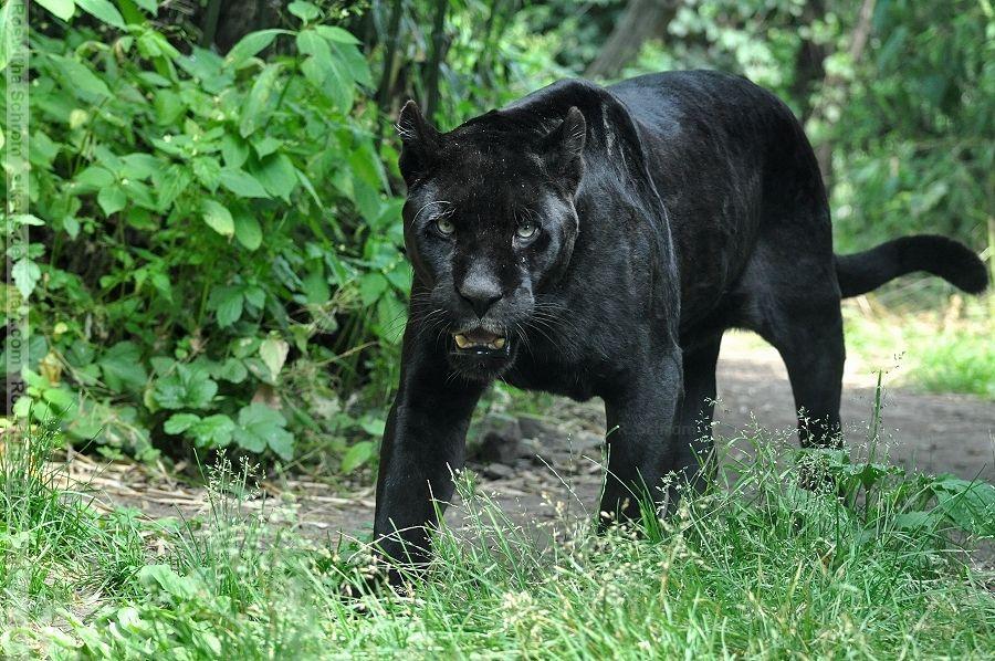 "male black Jaguar (Panthera onca) ""Joschi"" Zoo Vienna"