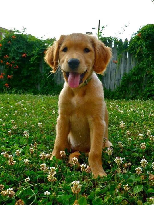 Riley Not Mine Cute Golden Puppy Golden Puppy Puppies Dog Person