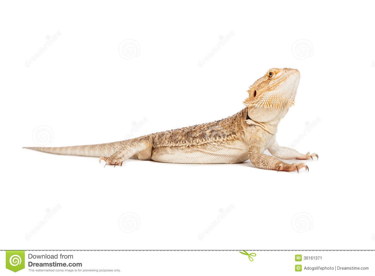 Image result for bearded dragon side view | Bearded Dragon