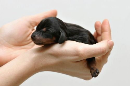 images about lalaus stuff on pinterest tiny puppies puppys and kittens