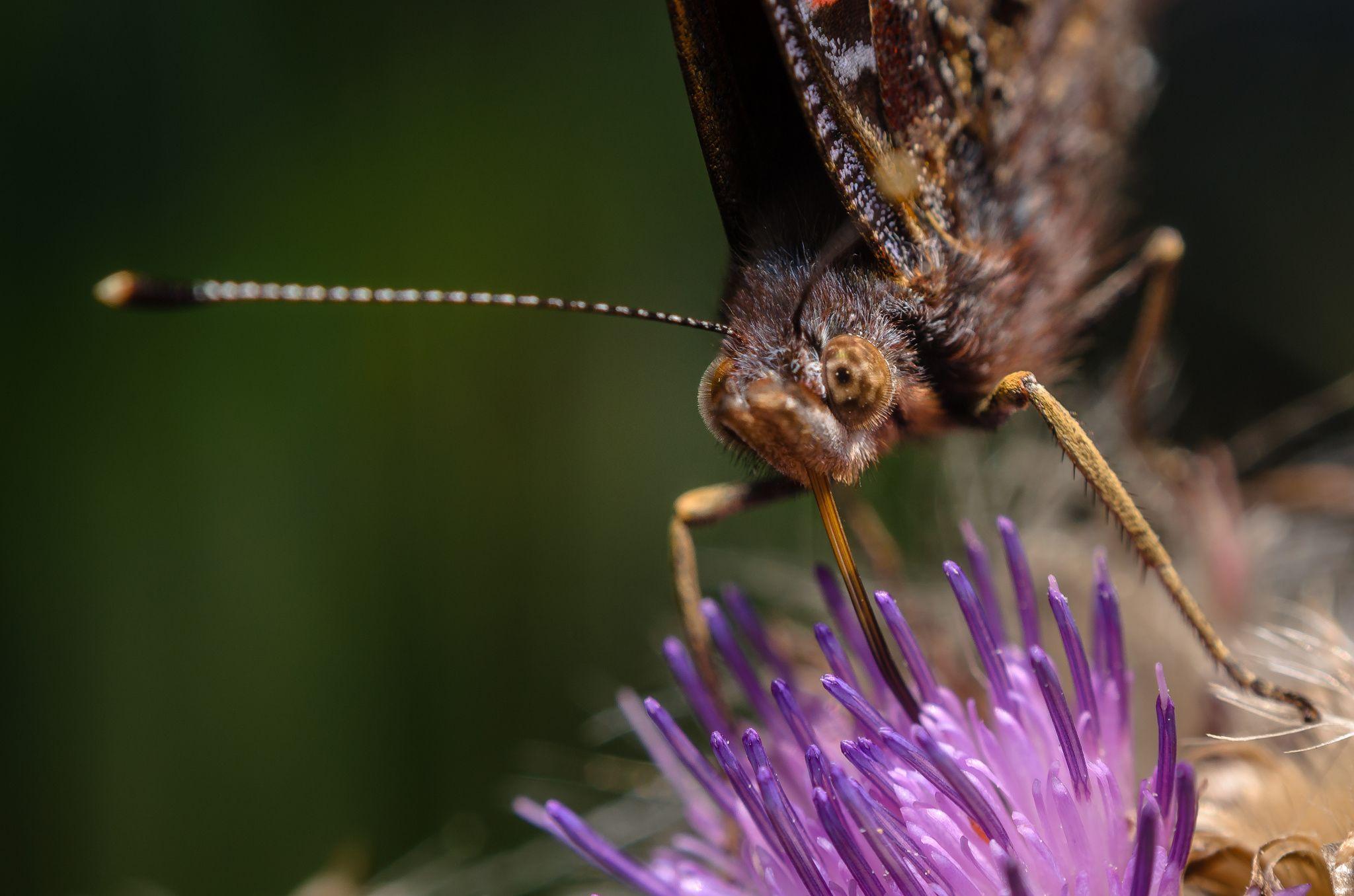 Butterfly on the thistle by Marek Weisskopf on 500px