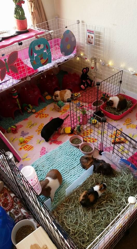 Pin On Guinea Pig Ideas