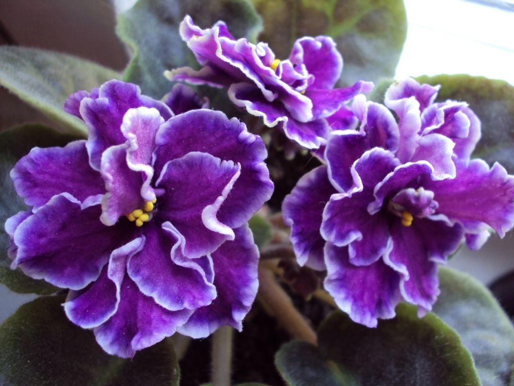 Цветы фиалки фото и названия