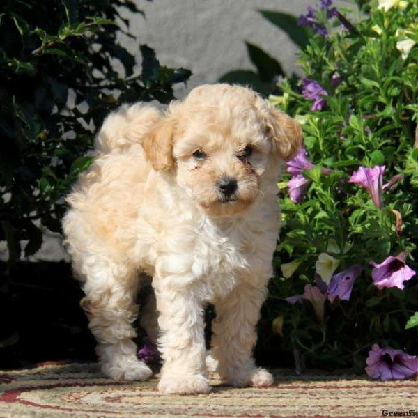 Timmy Miniature Poodle Puppy For Sale In Pennsylvania Poodle