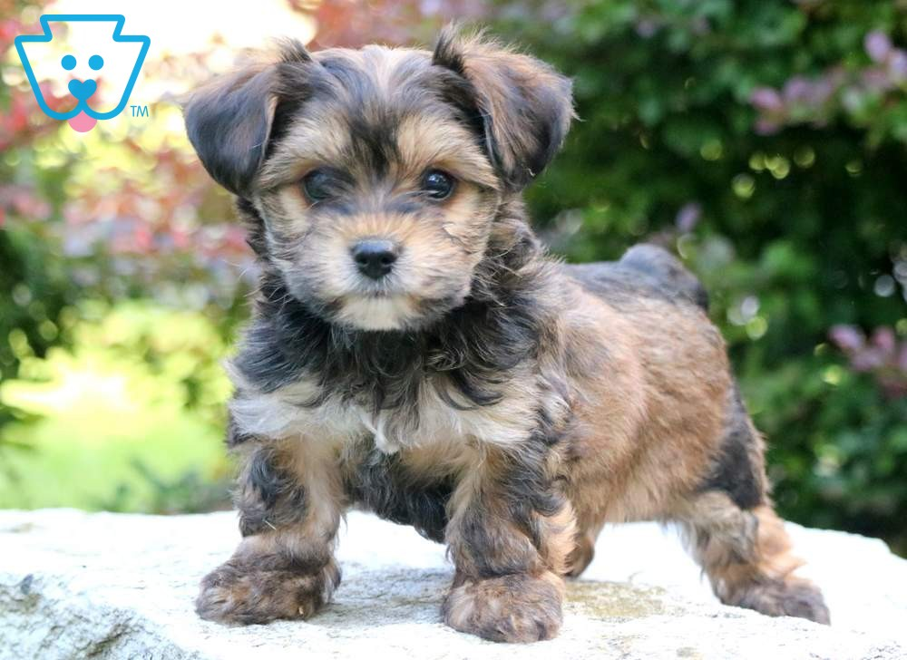 Ashton Yorkiepoo Puppy For Sale Keystone Puppies Yorkie Poo Puppies Yorkie Poo Cute Dogs And Puppies