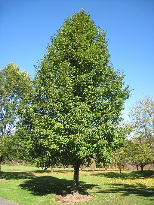 Cleveland Pear Tree Diseases Pictures