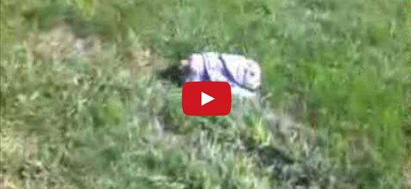 Baby Bulldog Loves Rolling Down Hills Bulldog Puppies Cute