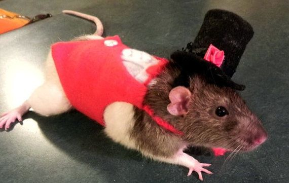 Stand Out Red Tuxedo Modeled By Cornelious Pumperdinkle Red Tuxedo Model Pet Rats