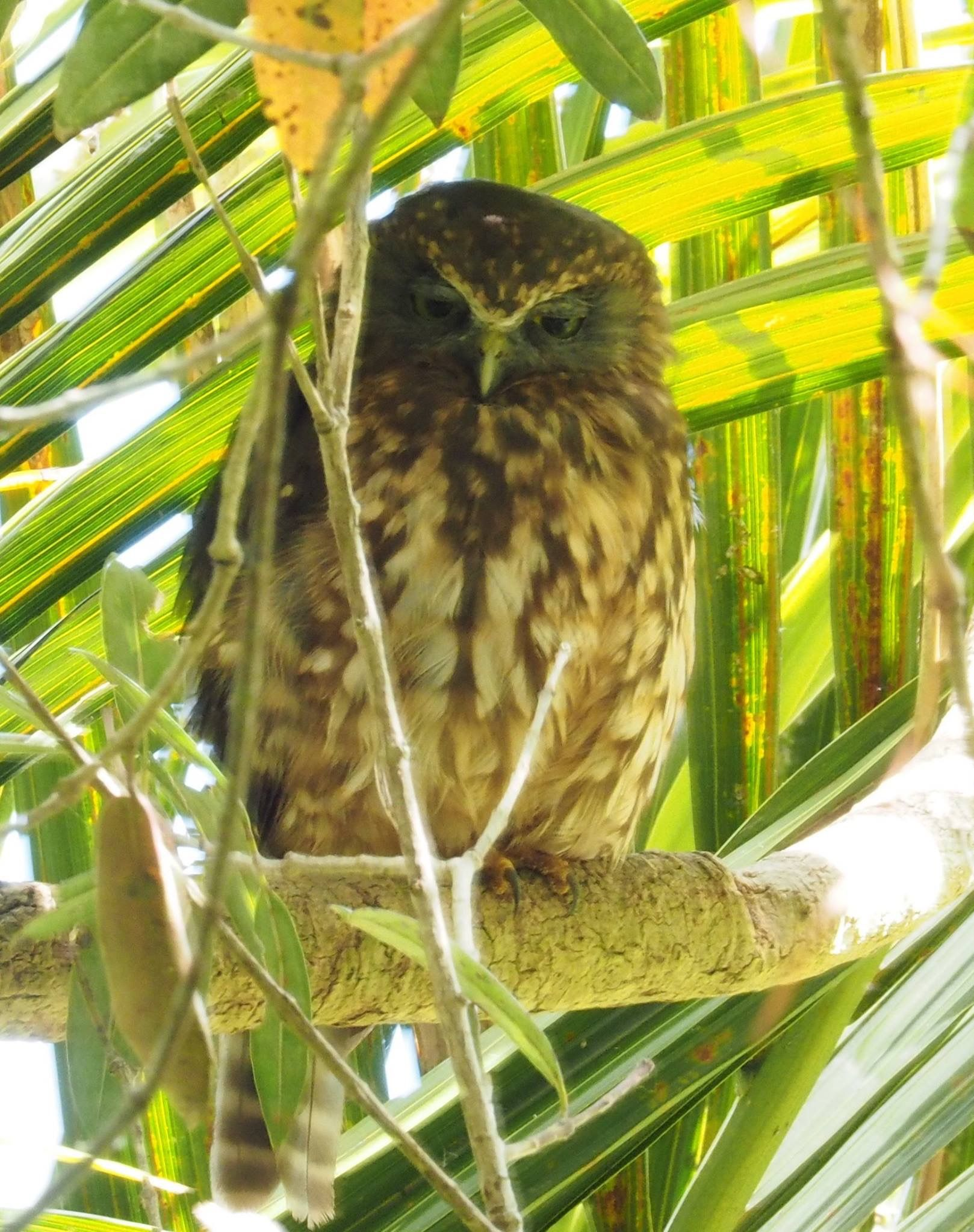 morepork in the fernery at the wintergardens auckland domain