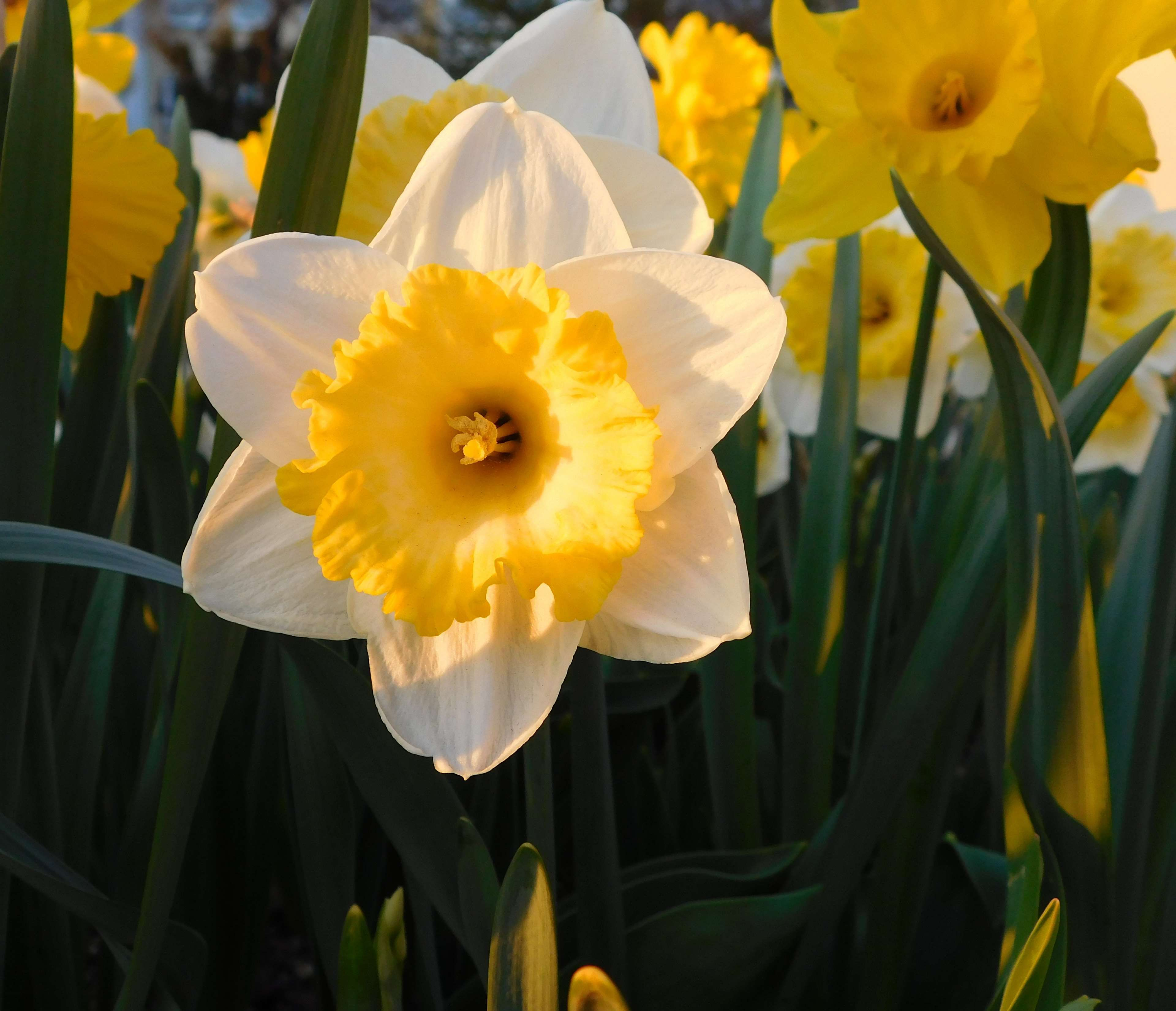 Bed bloom blossom close daffodil flower bed flowers many bed bloom blossom close daffodil flower bed flowers mightylinksfo