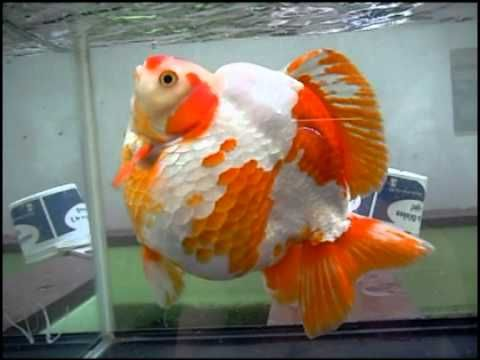 20 cm Ryukin!!!! Watching this bulky fish try to navigate shows the