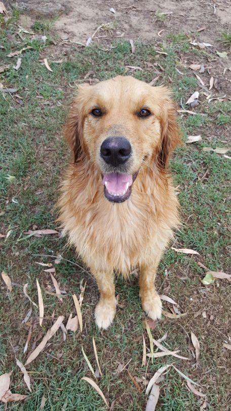 Golden Girl Aussie Dogs Dogs Golden Retriever Golden Retriever