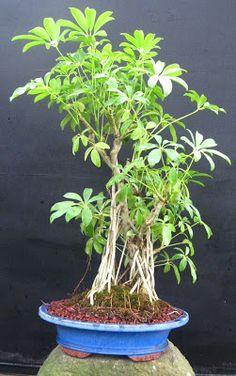 Umbrella Tree Hawaiian Schefflera Schefflera Arboricola Our Trees Savannah Bonsai Indoor Bonsai Bonsai Bonsai Tree