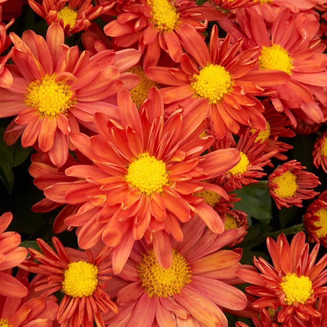 Are You Busy Decorating Your Porch With Pumpkins If Youre Transitioning Your Garden Decor To All Things Fall Dont Forget White Flower Farm Plants Perennials