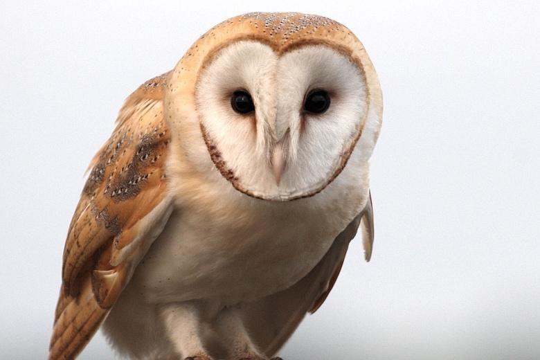 Barn owl numbers soar again after mild winter Owl, Barn
