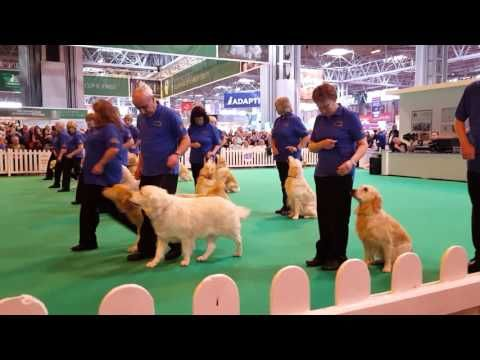 Golden Retrievers at Crufts 2016 #Crufts