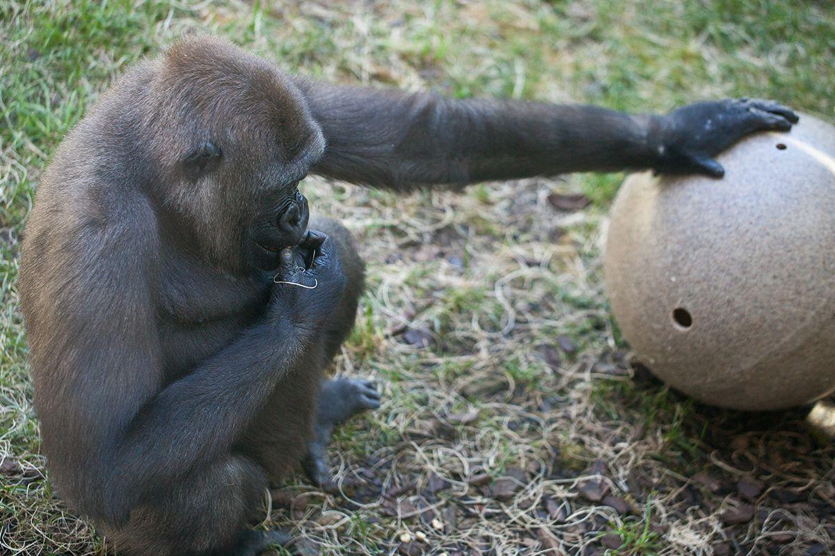 Mosi Western lowland gorilla Western lowland gorilla