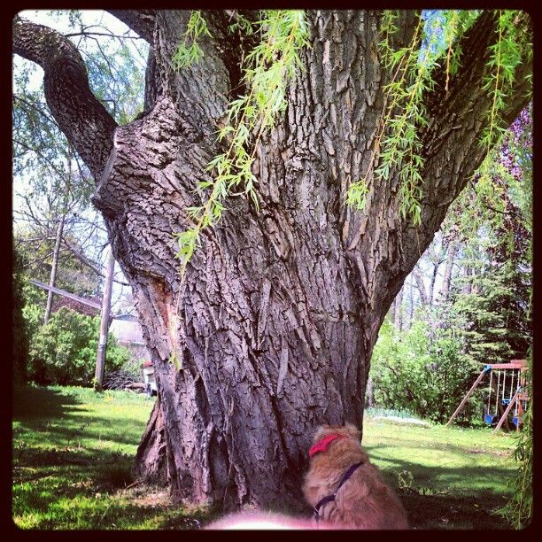 On our walk today, Ziggy spotted this big hand reaching out of the ground.  :)  Actually it's a Weeping Willow Tree.  :)