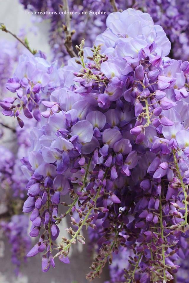Glycine Facebook Les Creations Colorees De Sophie Lavender Flowers Purple Flowers Pretty Flowers