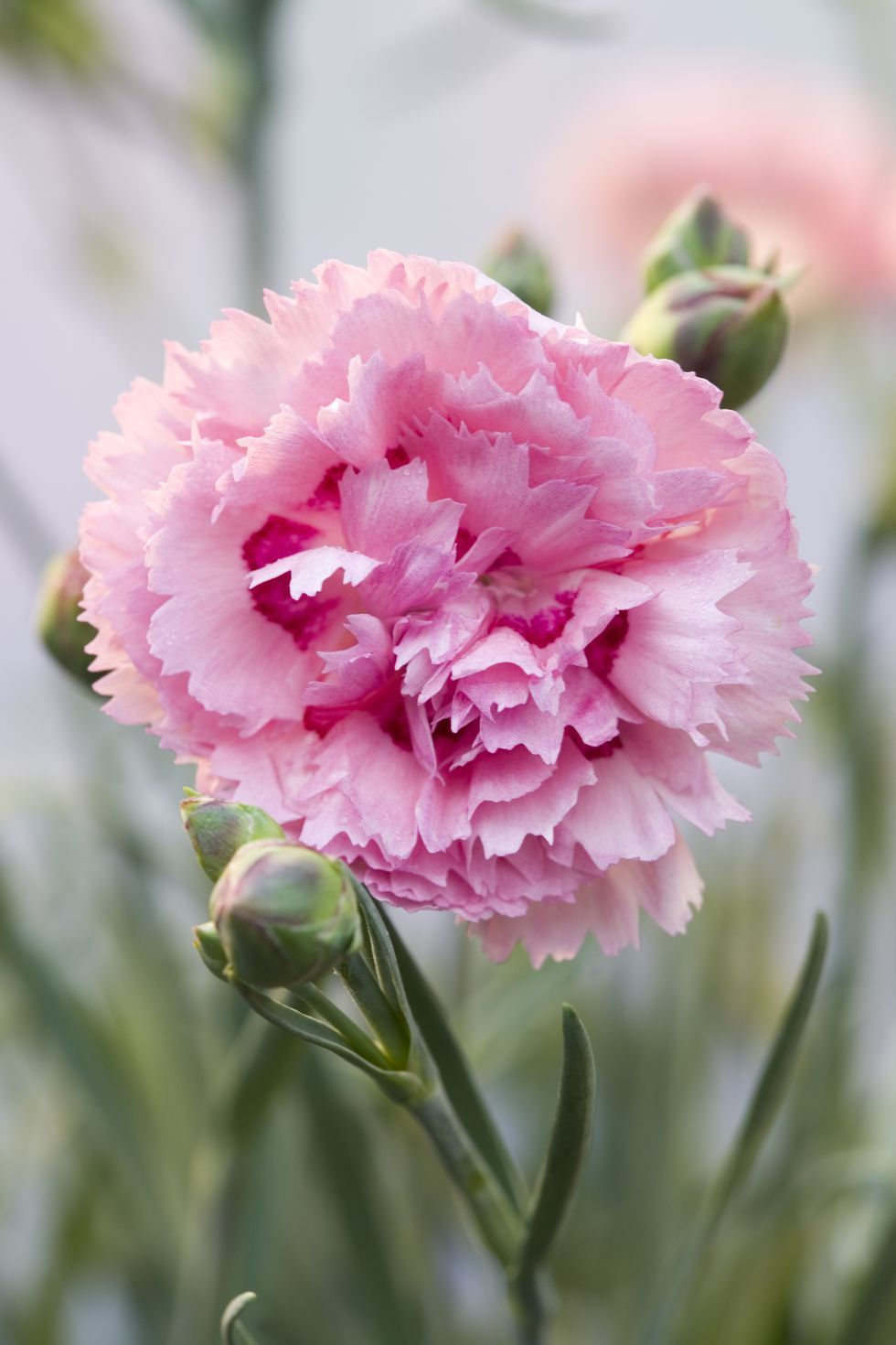 The Surprising Meanings Behind Your Favorite Flowers In 2020 Carnation Flower Flower Meanings Carnation Flower Meaning