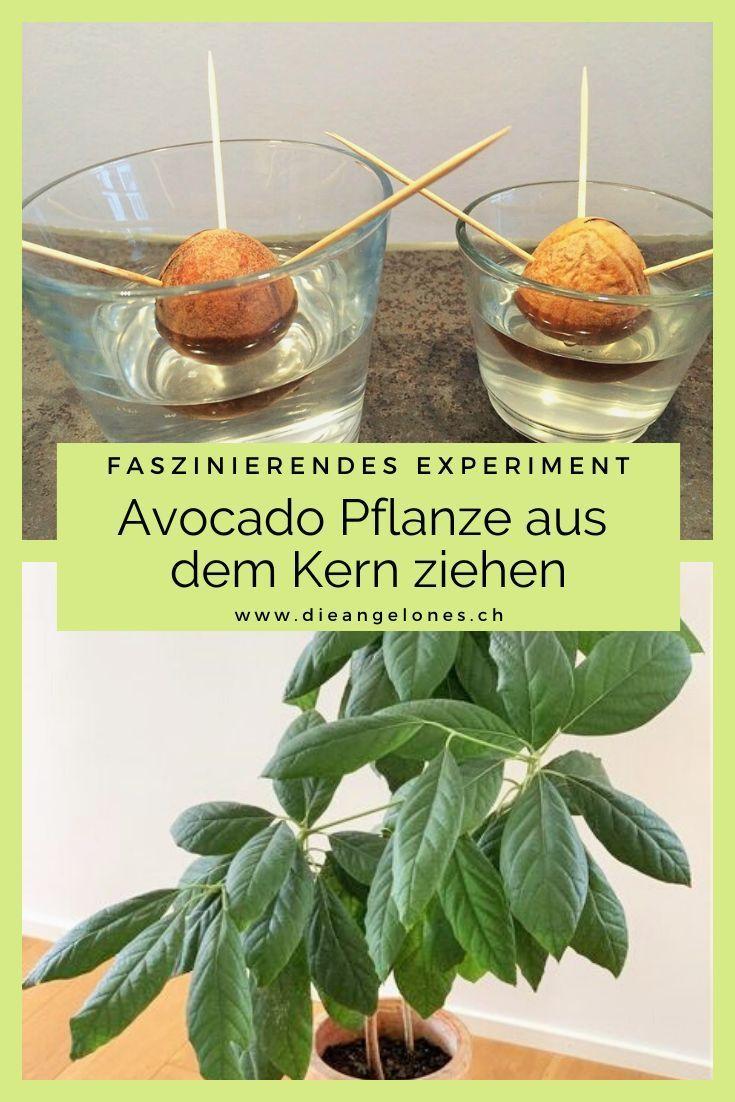 Geduld bringt Rosen: Langzeitprojekt Avocado ziehen – Schweizer Familienblog: DIE ANGELONES