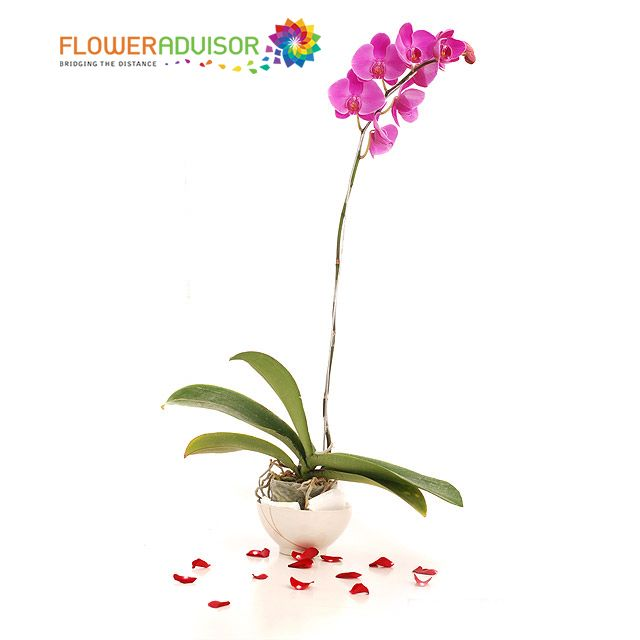 The Pink Orchids Meaning Lovebeautyfertilityrefinement