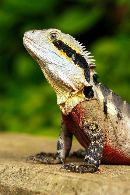 Australian Water Dragon Lizard: Australian Native Animals