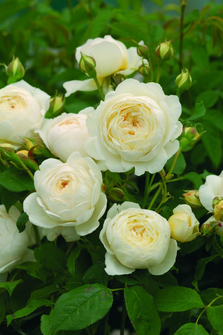 David Austin English Rose Claire Austinautiful Flowers Of Pale