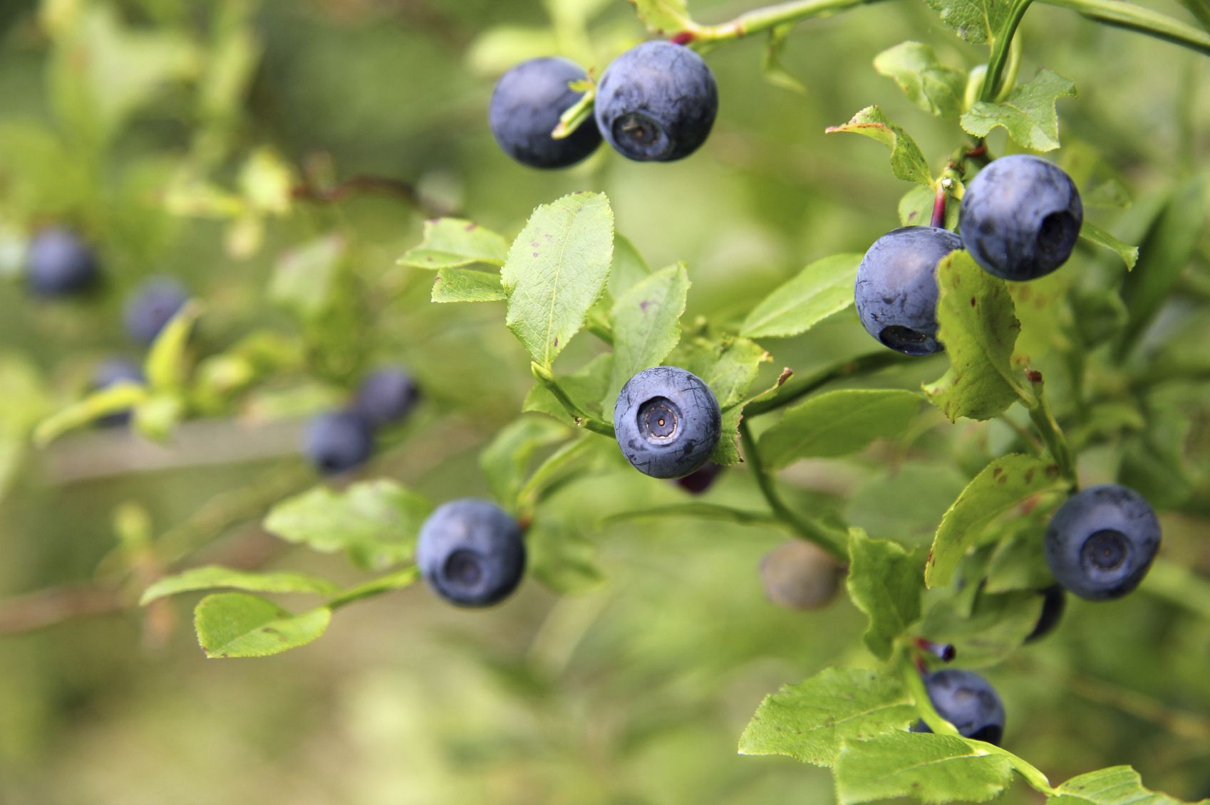 Fertilizing Blueberries Learn About Blueberry Bush