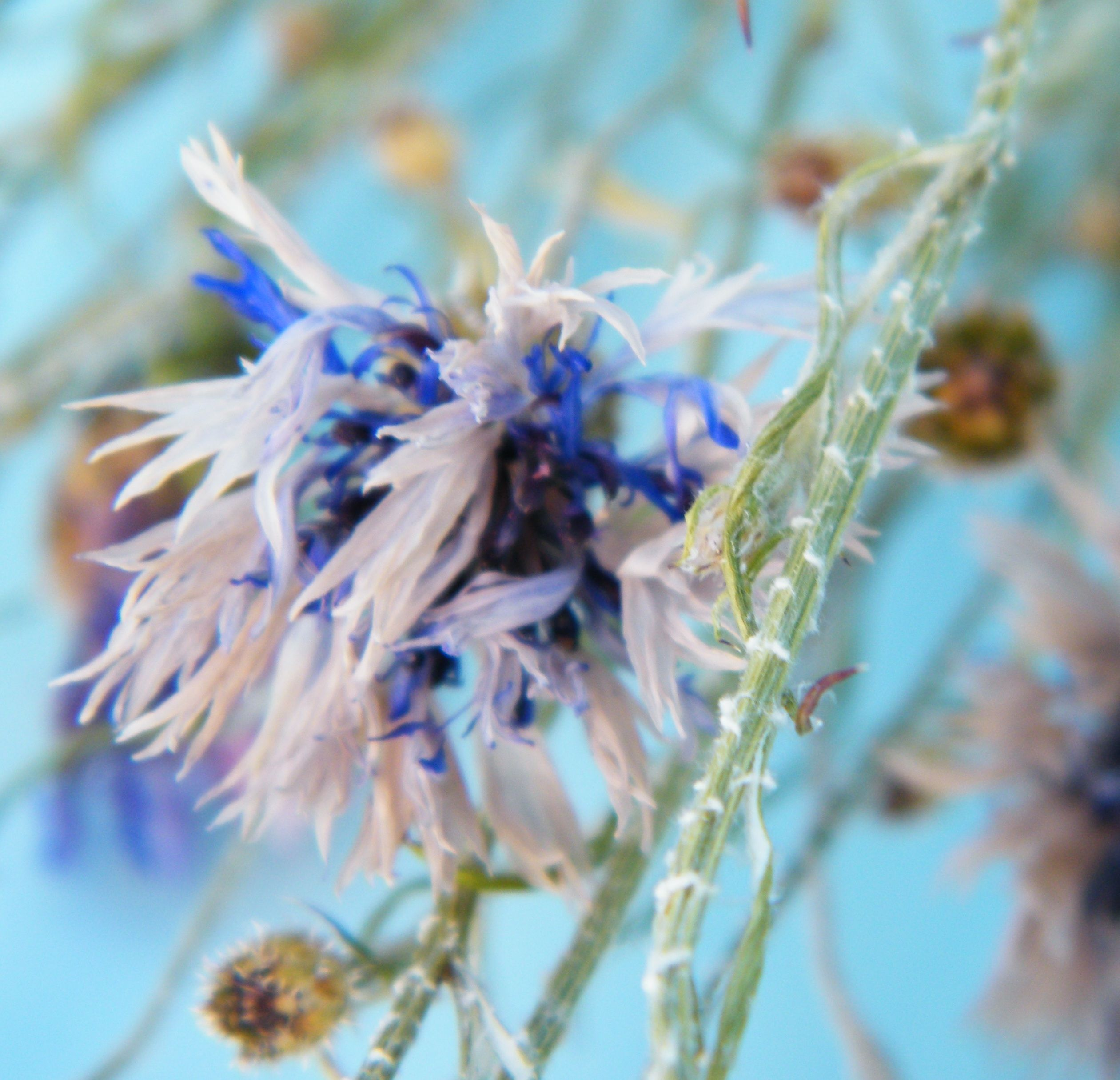 Faded dried cornflowers with white outer petals and blue